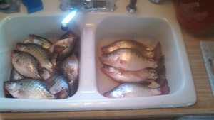 Crappie caught by eric nissen