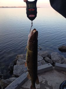 Northern Pike caught by Kyle McBride