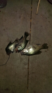 crappie caught by travis fritz