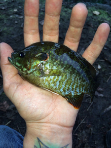 Bluegill caught by Steph Clarkie
