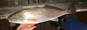 Red Drum caught by Taylor Collins