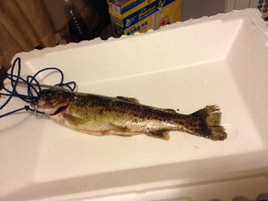 Rainbow Trout  caught by Luc Will I