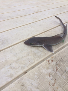 Sank Shark  caught by rocco perate
