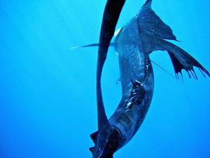 sailfish caught by sven verwiel