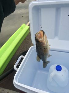 Large Mouth Bass caught by Steven Turner