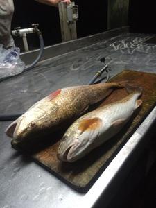 """27 1/2"""" Redfish caught by John Mitchiner"""