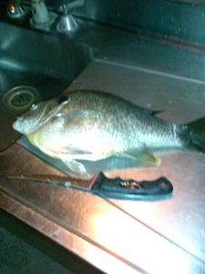 Red Ear Sunfish caught by David Cairns