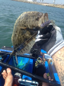 Halibut caught by s b