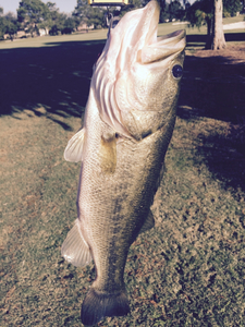 Large Mouth Bass caught by John Mitchell