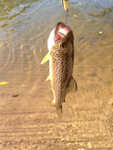 Brown Trout caught by tim Daley