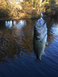 Large Mouth caught by Jason bonner