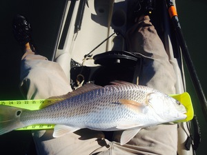 Redfish caught by Chris Lam