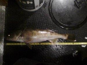 walleye caught by brett Jenson