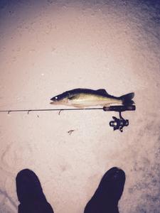 Walleye  caught by Jayton Bartsch