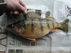 perch caught by steve trokan