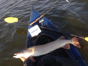 Northern Pike caught by Aaron LaDuke