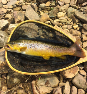 Brown Trout caught by Kevin Miller