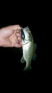 largemouth bass caught by chad Nelson