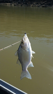 white bass caught by Kevin Rockwell