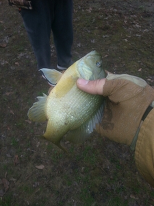 Bream caught by Johnny Henderson