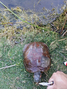 turtle caught by Juan Arceo