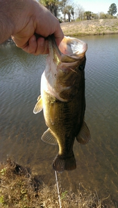 bass caught by Aaron Fleckinger