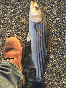 Striper caught by J H