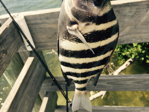 Sheepshead caught by Steve Toth