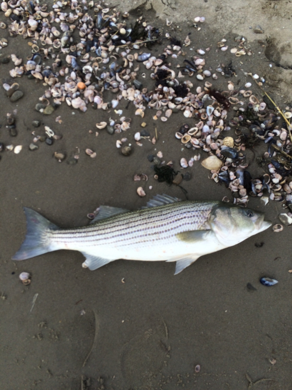 Long island sound west ny fishing reports map hot spots for Best striper fishing spot in ri