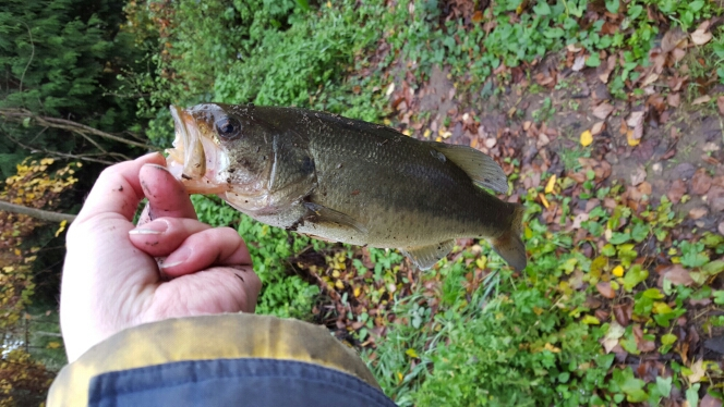 Caught a largemouth bass on tualatin river using a roostertail for Tualatin river fishing
