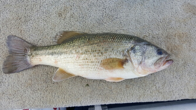 Caught a spotted bass on taylorsville lake using a road runner for Taylorsville lake fishing report