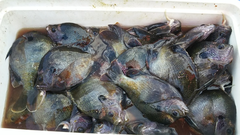 Orange lake and lochloosa lake fl fishing reports map for Blue fish florida